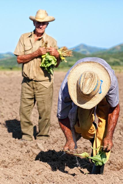 tocer-cuba-tobacco-farm-plantation.jpg
