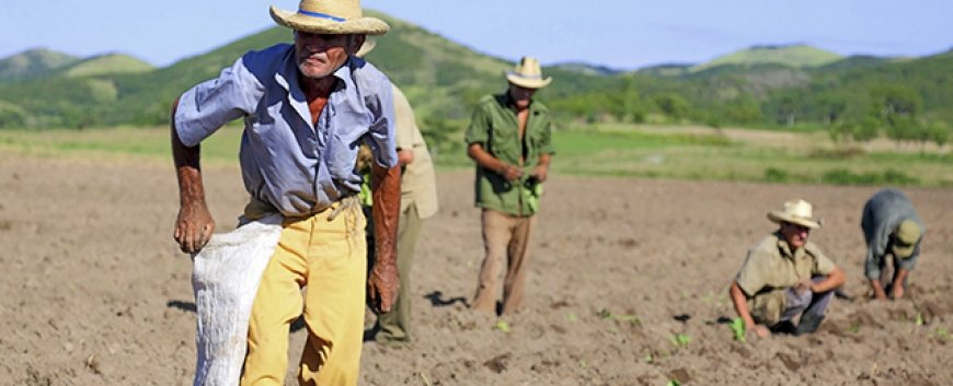 Cuban Farmers planting Tobacco
