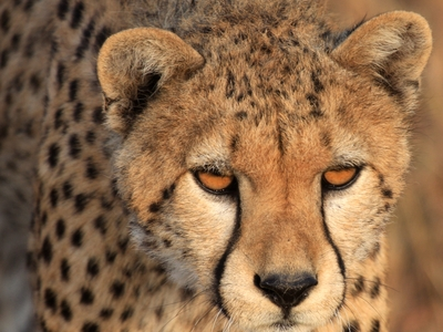 CHEETAH big cat wild game africa endangered species