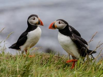 puffin iceland cute seabird Akureyri