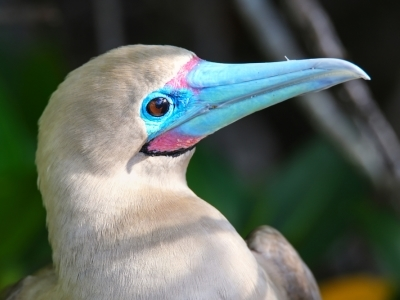 Red footed Boobie, Galapagos Islands.400x300
