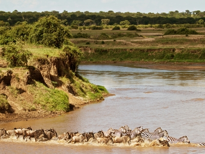 Zebra Wildebeest crossing river Africa Serengeti