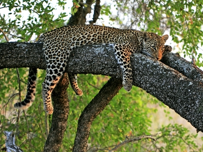 leopard wild animal endangered species south africa tree