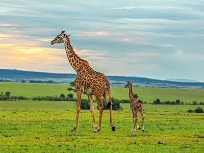 Giraffe plains Africa Maasai Mara