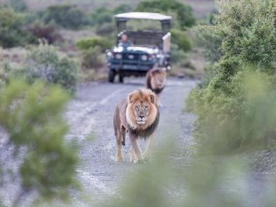 Lion safari Kenya Africa game drive