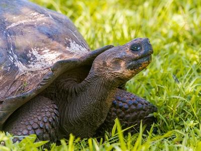 Giant tortoise Santa Cruz the Galapagos