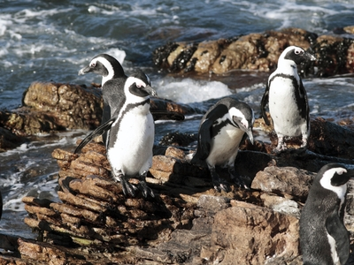 Penguins at the Grootbos Nature Reserve Walker Bay Cape Town South Africa