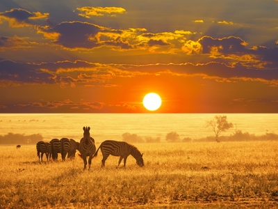 Zebras in the African Wild Sunset