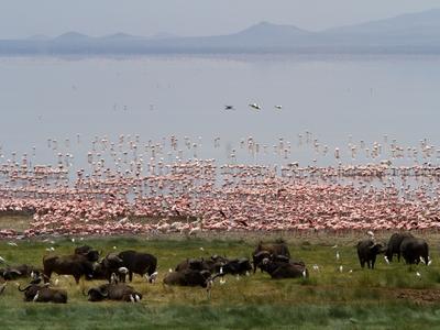 Pink flamingos wildebeest Lake Nakuru National Park Nairobi Kenya Africa