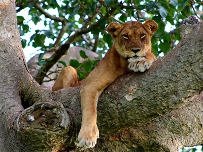 Lion in a tree Lake Manyara National Park Tanzania Africa Safari Wild Game